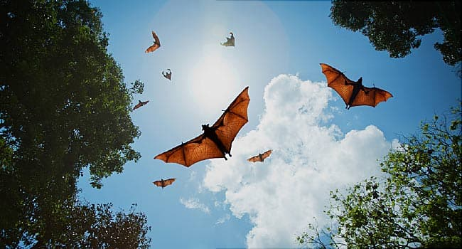 Viruses May Jump from Bats to People More Often Than Realized